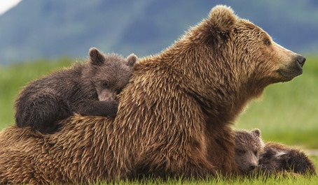 """Disneynature's BEARS  In Disneynature's upcoming big-screen adventure """"Bears,"""" cubs Amber and Scout curl up with their mother, Sky, in a meadow.  Photo Credit: Oliver Scholey  ©Disneynature ©Disney"""